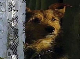 photo of the telepathic terrier Jaytee