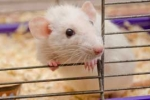 photograph: laboratory mice are sometimes used to study the effect of distant mental interactions with living organisms
