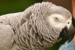 photo of N'kisi, an African Grey parrot involved in ESP experiments